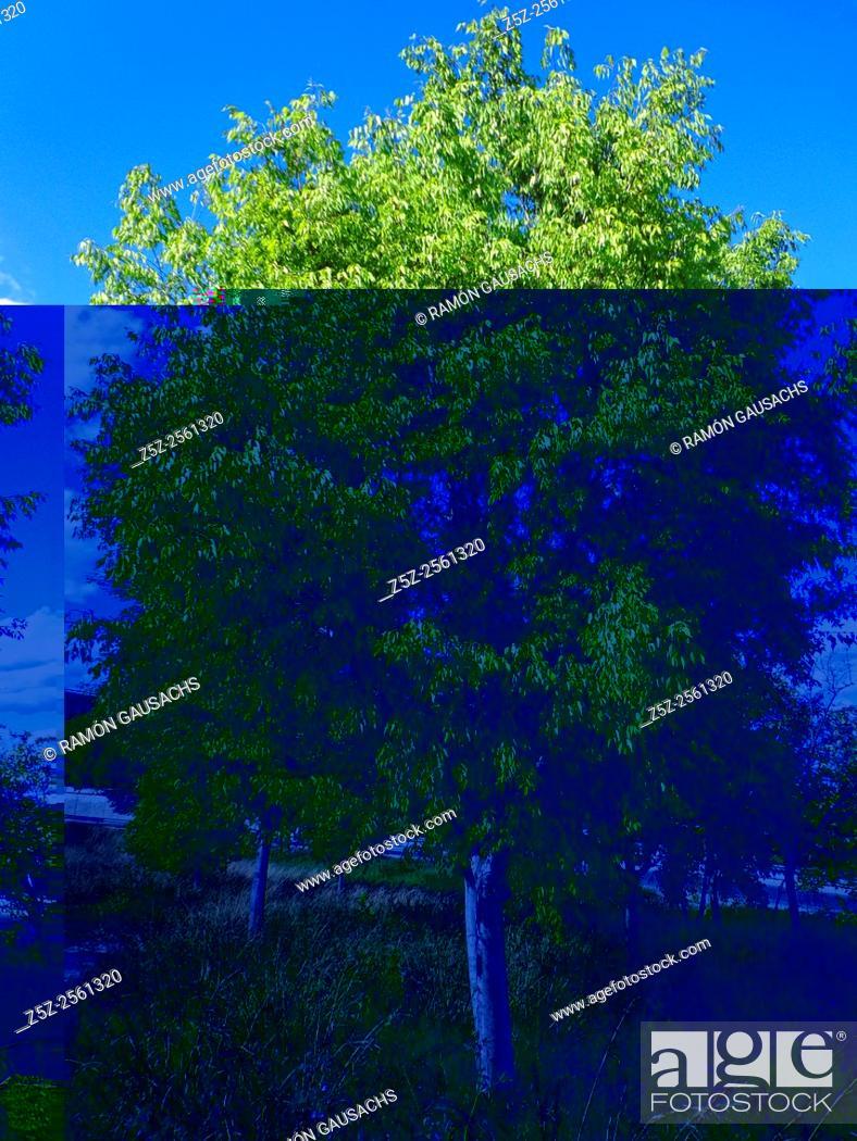 Stock Photo: Nettle tree (Celtis australis).