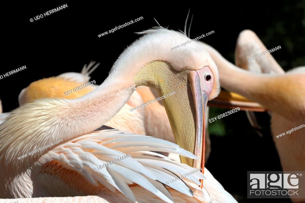 Stock Photo: Great white pelican (Pelecanus onocrotalus).