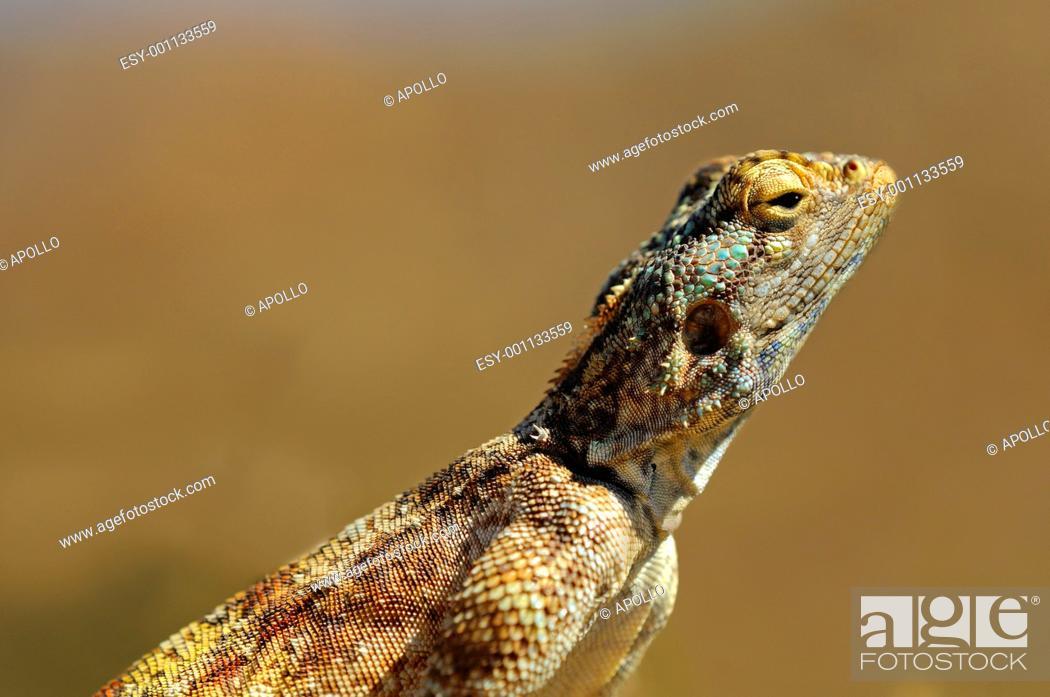 Stock Photo: Southern rock agama, Knobel's agama, Agama atra knobeli, Goegap Nature Reserve, Namaqualand, South Africa.