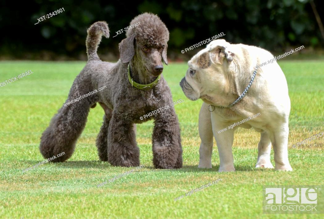 Two pedigree puppies black miniature poodle (left) and English