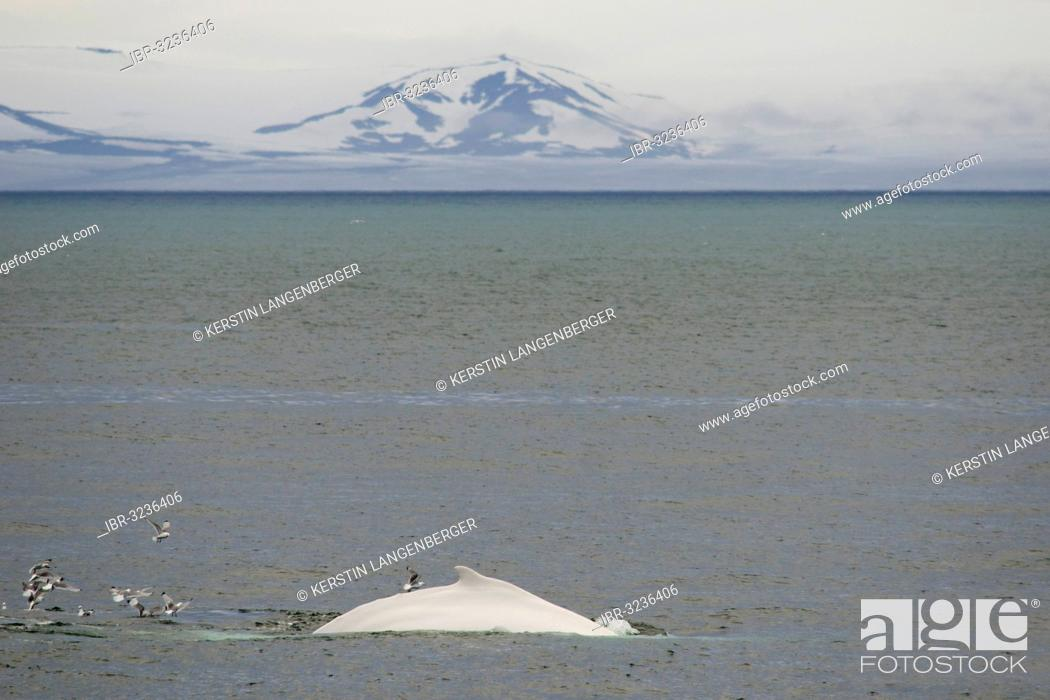 Stock Photo: Rare, possibly the only, white Humpback Whale (Megaptera novaeangliae) in the northern hemisphere.