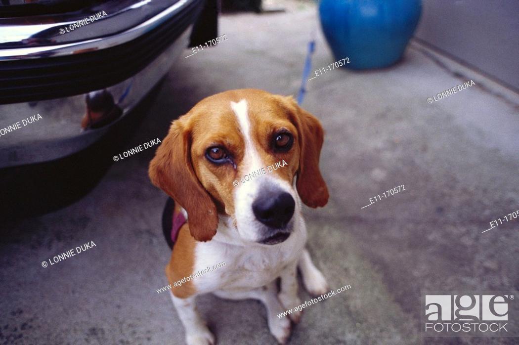 Stock Photo: Beagle.