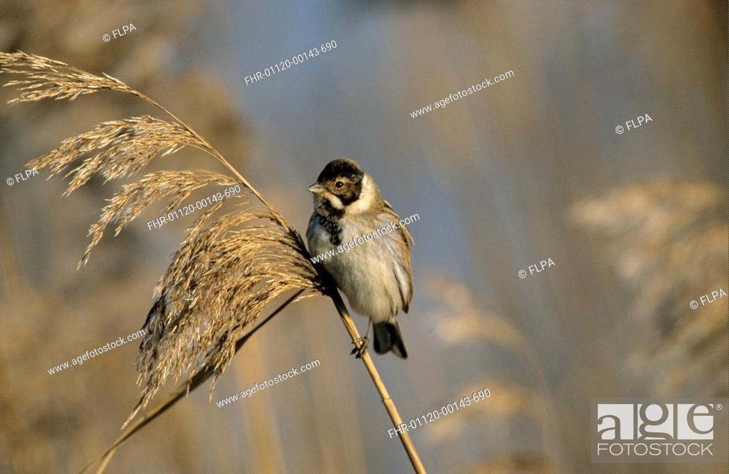 Stock Photo: Reed Bunting Emberiza schoeniclus adult male, winter plumage, perched on phragmites seedhead, Norfolk, England, february.