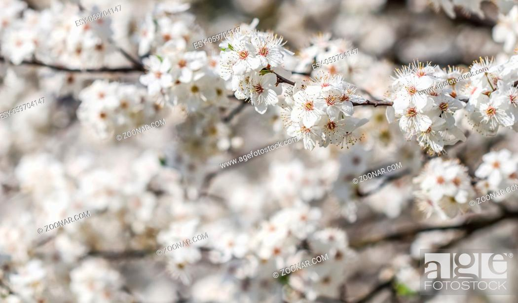 Stock Photo: Cherry blossoms in spring. Beautiful white flowers.
