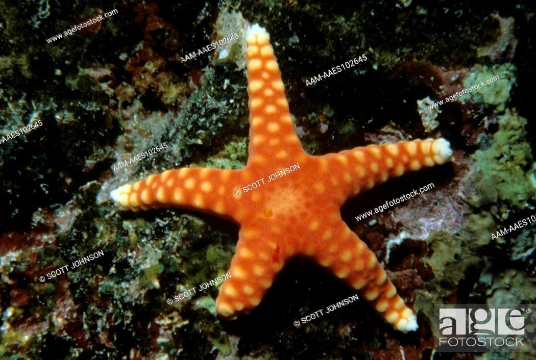 Stock Photo: Orange Starfish (Fromia sp.) Marshall Islands.