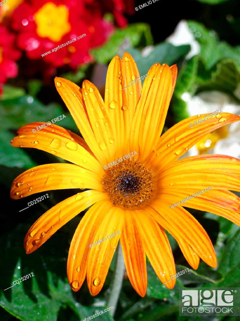 Stock Photo: Gerbera Daisy (Gerbera hybr.).