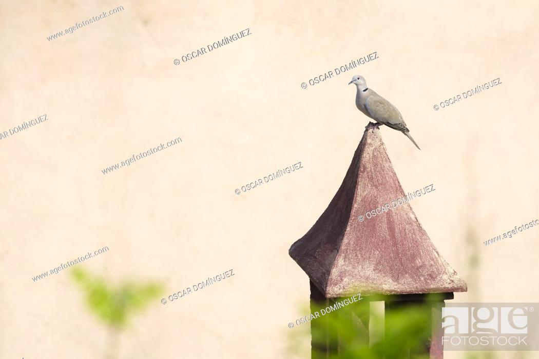 Stock Photo: Eurasian Collared-dove (Streptopelia decaocto) perched on a chimney. Birds begin to occupy the empty spaces due to the lockdown caused by the COVID-19 pandemic.