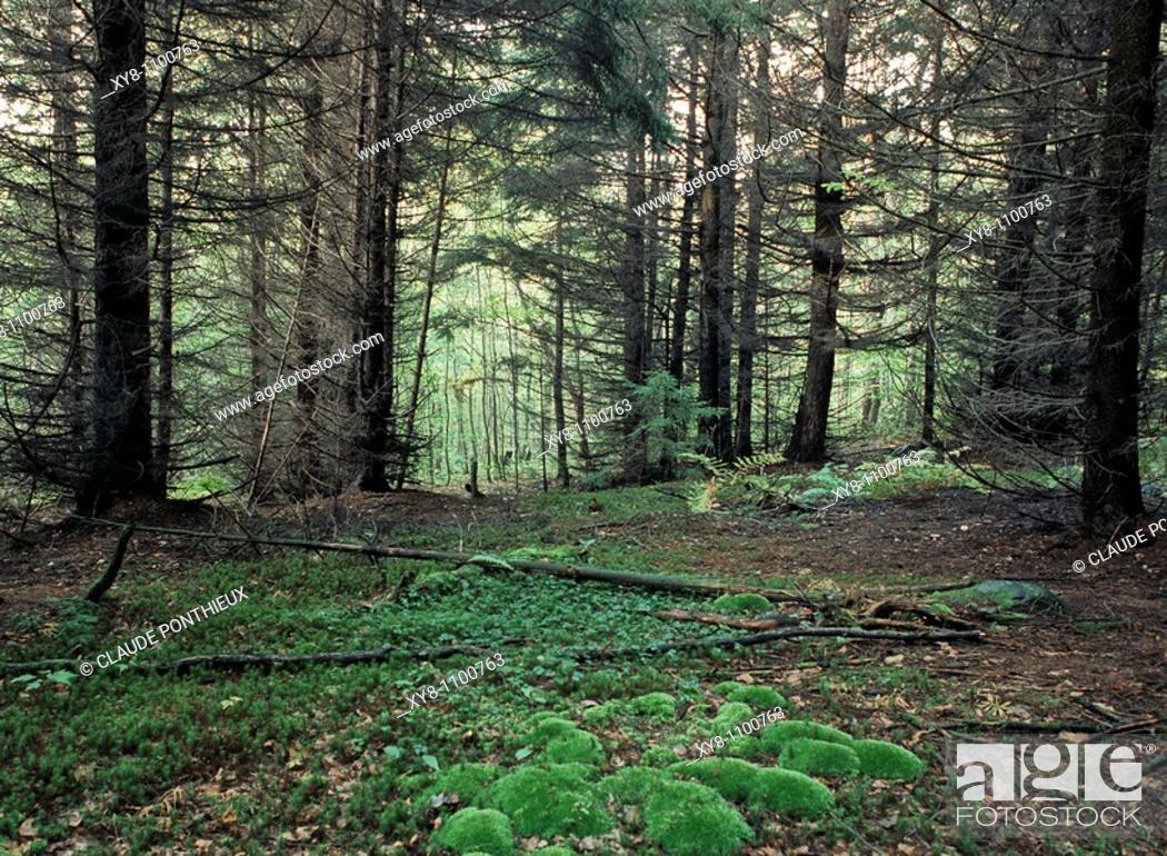 Stock Photo: Undergrowth, Québec, Canada.