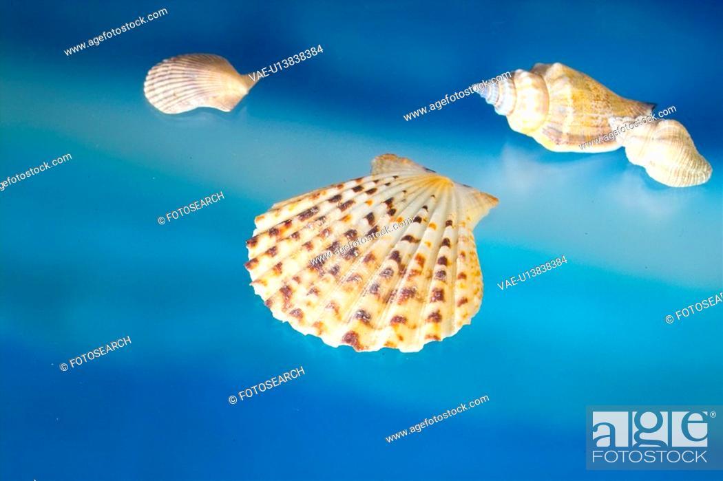 Stock Photo: mollucca, animal, mollusc, mollusks, mollusk, shellfish, shell.