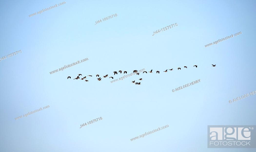 Stock Photo: Lesser whistling duck, duck, flying, Thailand, bird, palmipede, duck, dendrocygna javanica, flight, migration, group, flock.