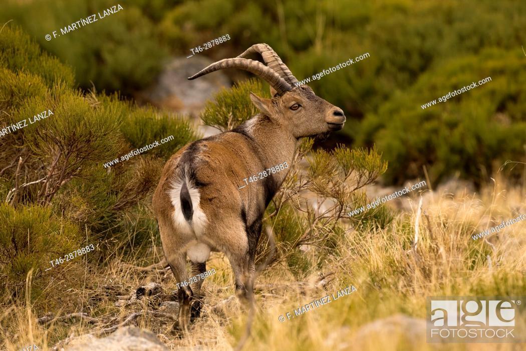 Stock Photo: Iberian ibex (Capra pyrenaica). Photographed in Gredos Avila.