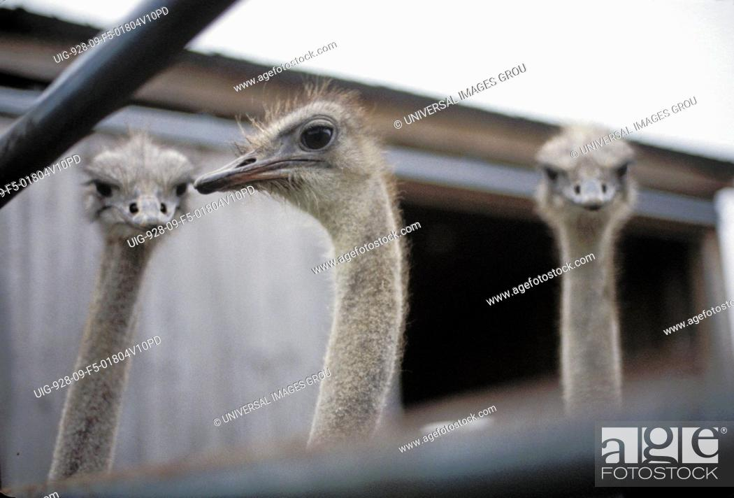 Stock Photo: New York, Conewango Valley - Adult Ostriches At Empire Ostrich Ranch.