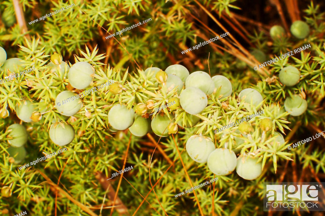 Stock Photo: Wild Asparagus (Asparagus albus) fruits.