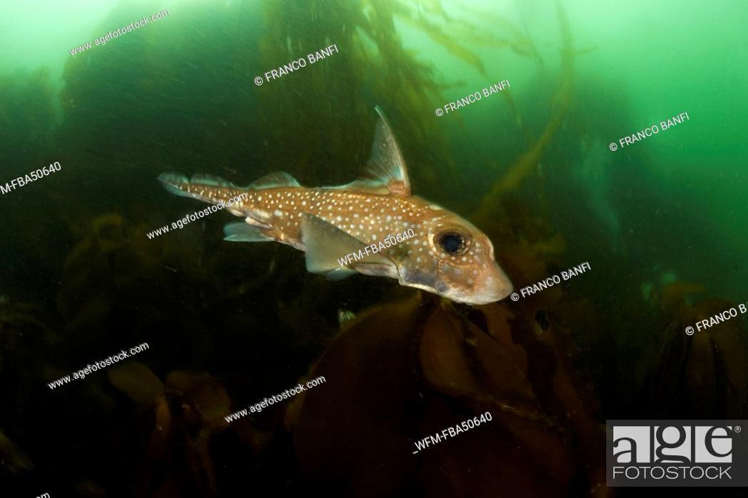Stock Photo: chimaera, Hydrolagus colliei, British Columbia, Pacific Ocean, Canada.