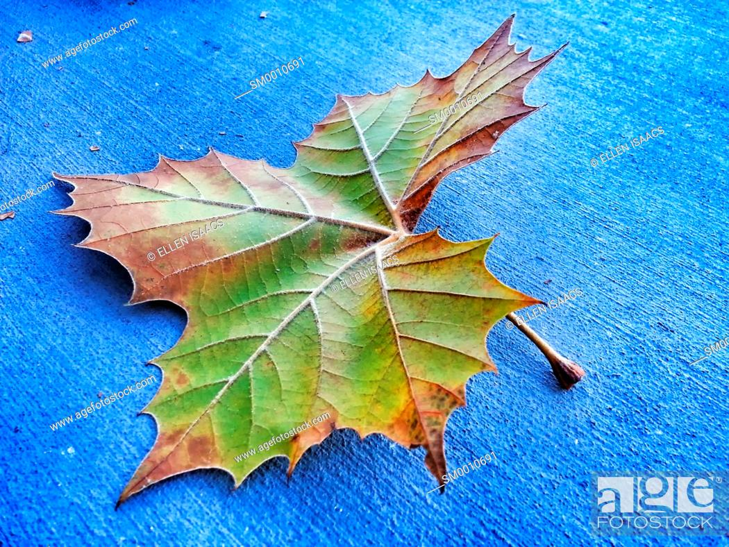 Stock Photo: Single colorful maple leaf fallen to the pavement in autumn showing detailed structure of veins.
