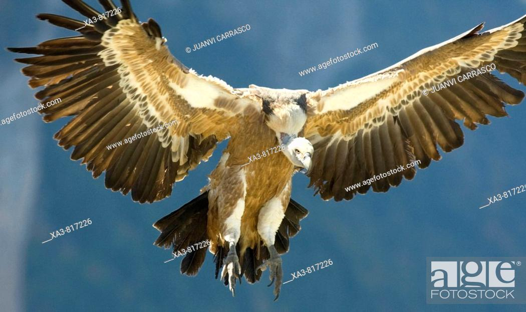 Stock Photo: Bearded vulture Gyps fulvus with opened wings.