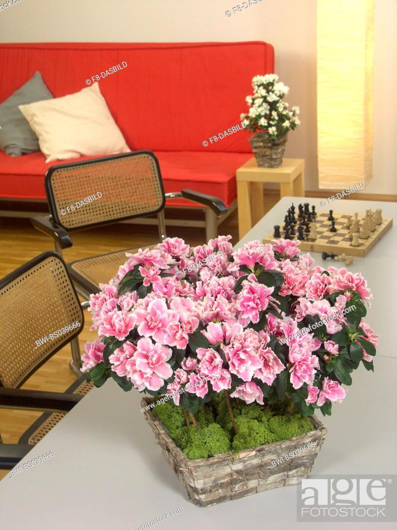 Azalea, Formosa Azalea, Sim\'s Azalea, (Rhododendron simsii), potted ...