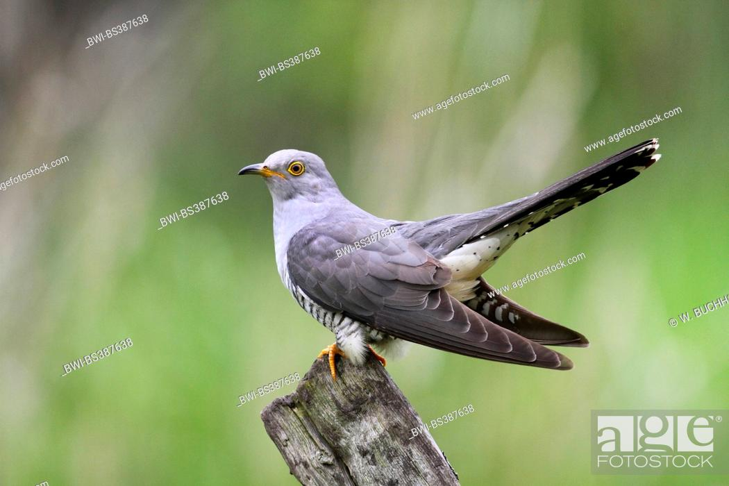 Stock Photo: Eurasian cuckoo (Cuculus canorus), sitting on a wooden post, Germany.