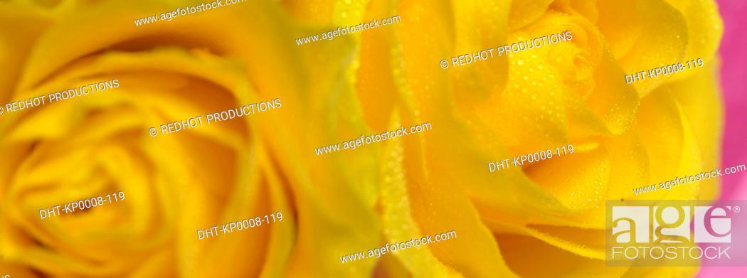 Stock Photo: Two Yellow Roses close up with dew on them.
