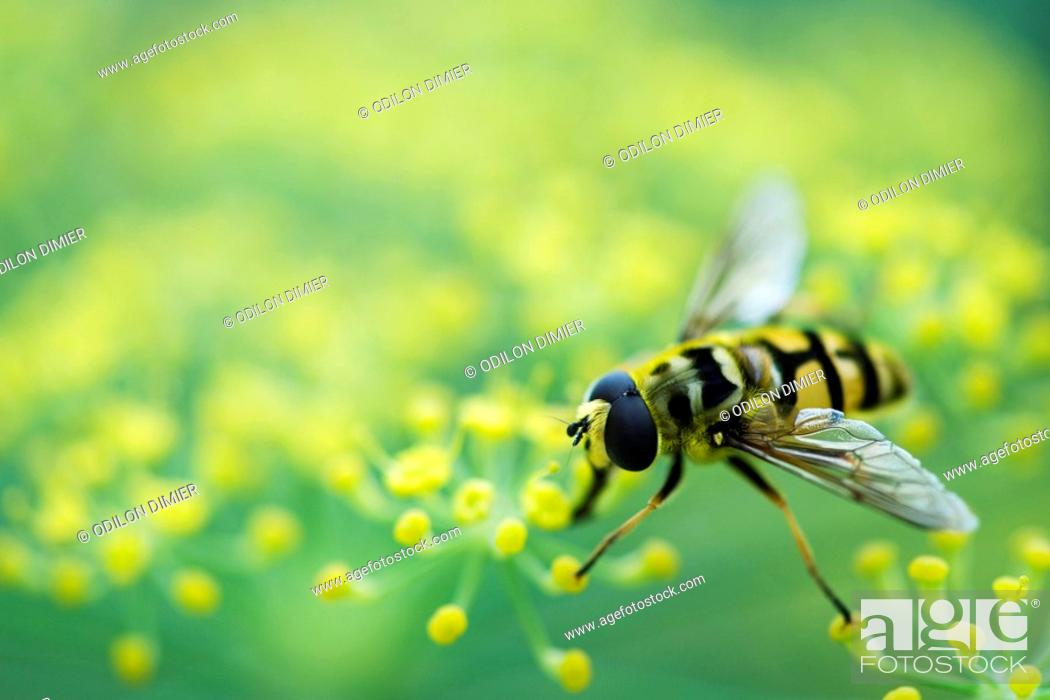 Stock Photo: Hoverfly perched on flower head.