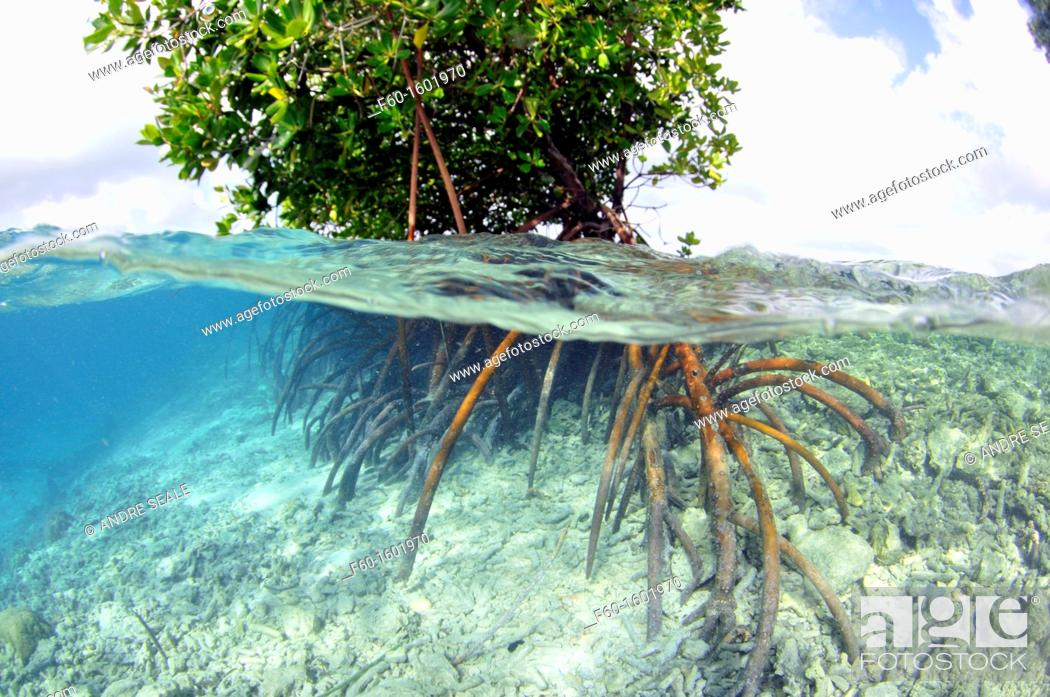 Stock Photo: Mangrove, Rhizopora sp , U Province, Pohnpei, Federated States of Micronesia.