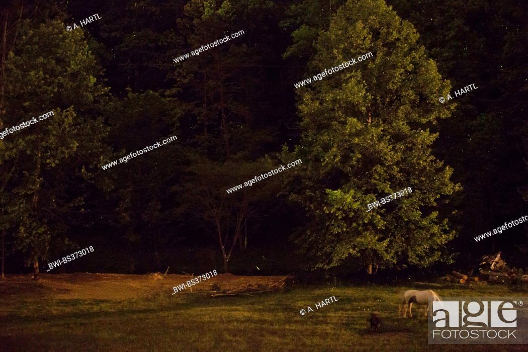 Stock Photo: Synchronous firefly (Photinus carolinus), flying over a paddock at night, USA, Tennessee, Great Smoky Mountains National Park.