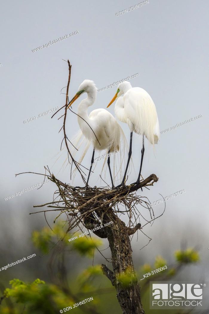 Stock Photo: Great egret (Casmerodius albus, Ardea alba, Egretta alba), Smith Oaks Audubon rookery, High Island, Texas, USA.