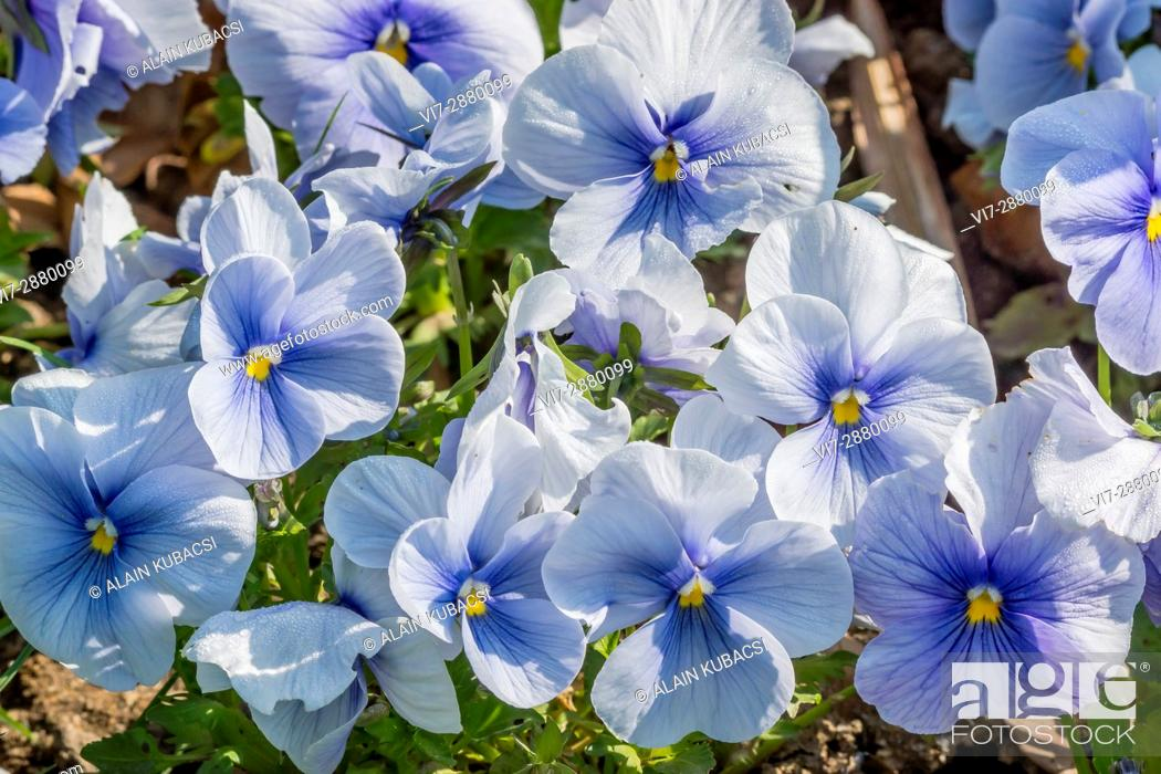 Stock Photo: Blue Azur Large-Flowered Pansy / Viola x wittrockiana 'Blue Azur'.