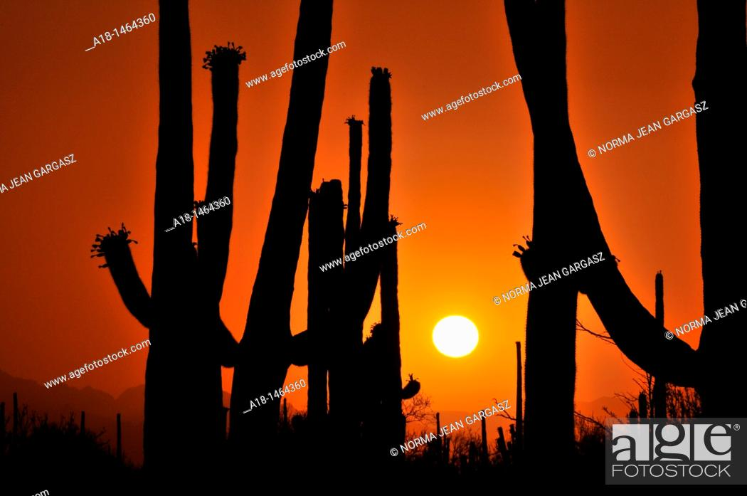 Stock Photo: Saguaro cactus, Carnegiea gigantea, tower over the desert in Saguaro National Park West in the Sonoran Desert in Tucson, Arizona, USA.