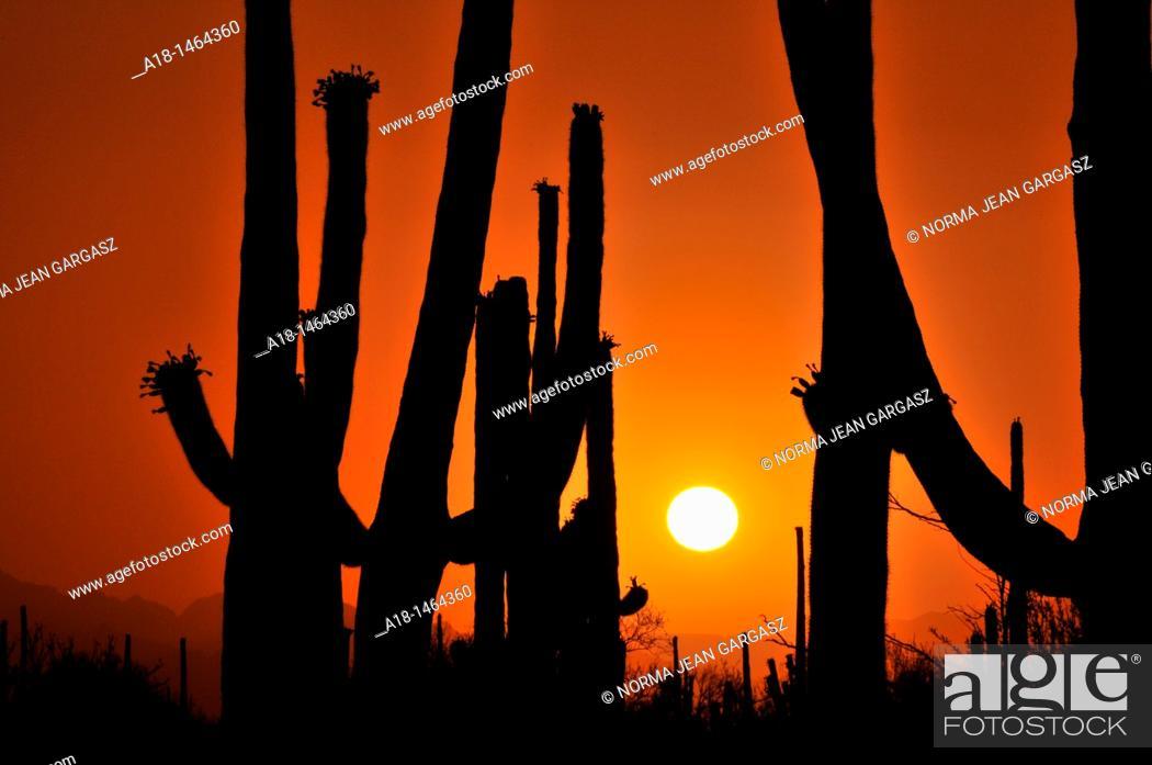 Stock Photo: Saguaro cactus, Carnegiea gigantea, tower over the desert in Saguaro National Park West in the Sonoran Desert in Tucson, Arizona, USA.