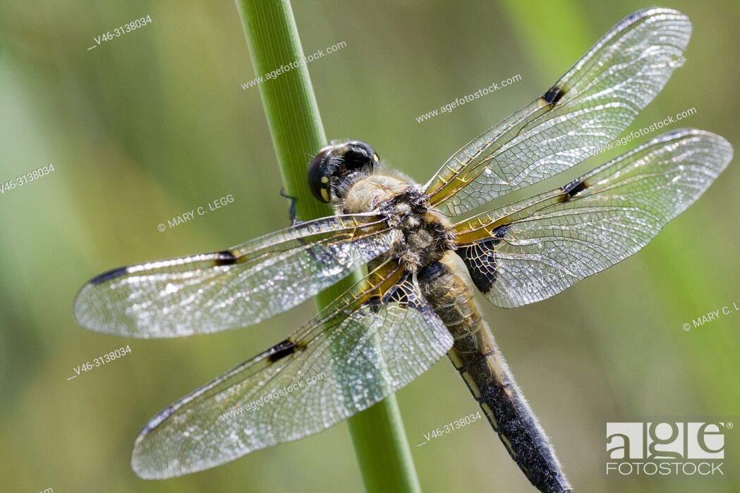 Stock Photo: Four-spotted Chaser, Libellula quadrimaculata, a large gold dragonfly with distinct four dark markings on the wings. Flies April to September.