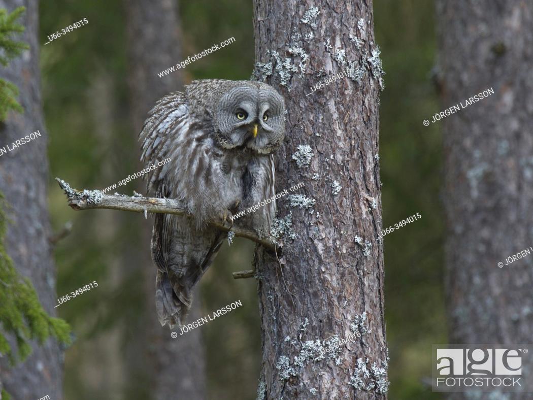 Stock Photo: Great grey Owl (Strix nebulosa). Gnesta, Sodermanland, Sweden.