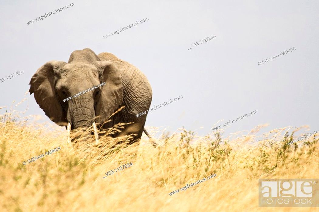 Stock Photo: An adult African elephant walks the plains in the Masa Mara.