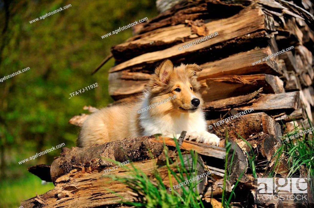 Stock Photo: Collie Puppy.