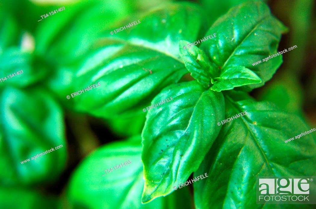 Stock Photo: Basil plant.