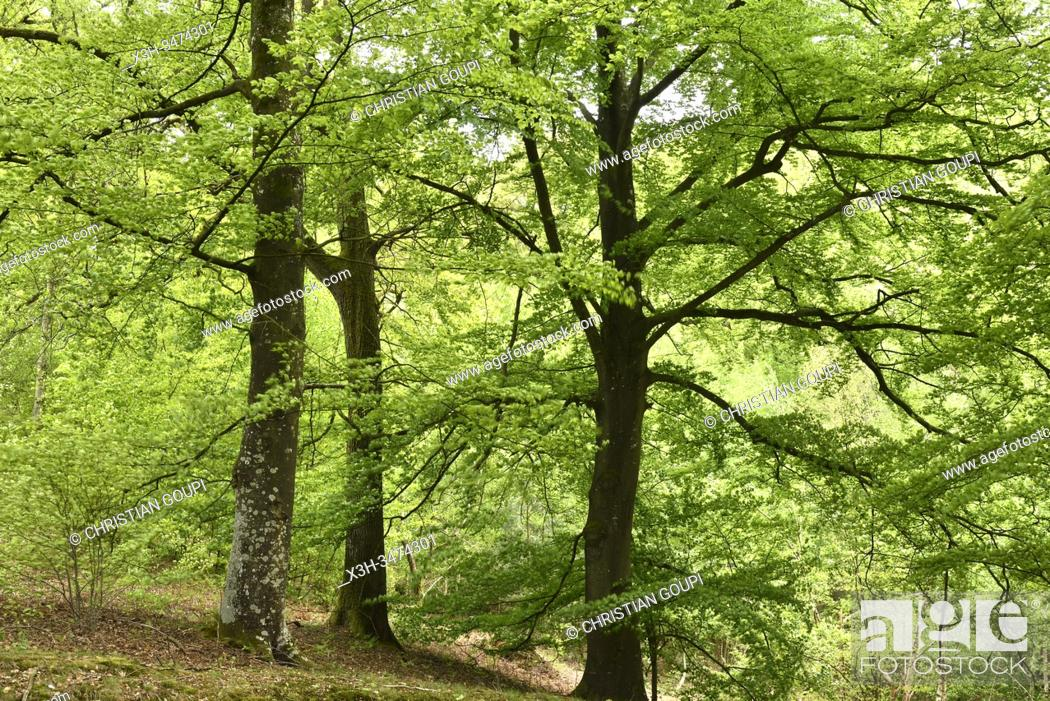 Stock Photo: hetres, foret de Rambouillet, departement des Yvelines, region Ile de France, France, Europe/ beech trees, forest of Rambouillet, Yvelines department.