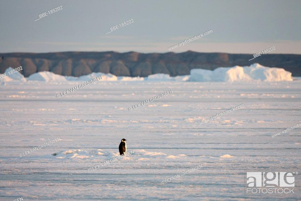 Stock Photo: This Emperor Penguin (Aptenodytes forsteri) remained motionless for a long time standing in the rays of the evening sun Admiralty Sound.