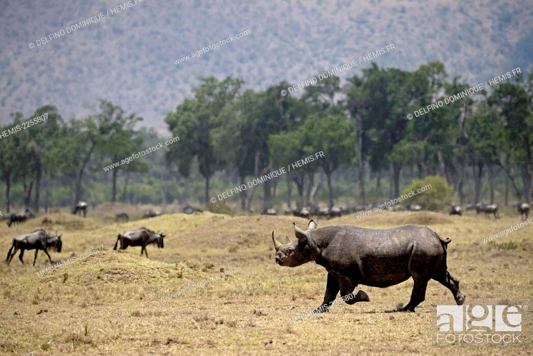 Stock Photo: Kenya, Masai Mara Reserve, Black Rhinoceros (Diceros bicornis) on the move.