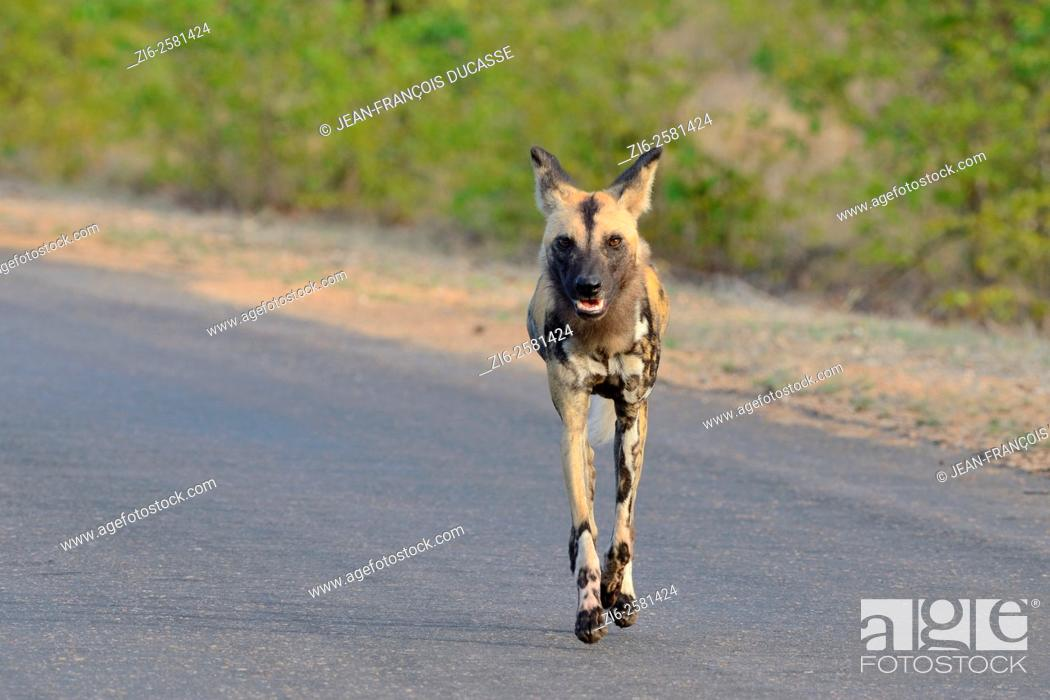 Stock Photo: African wild dog (Lycaon pictus), running on the road, early in the morning, Kruger National Park, South Africa, Africa.