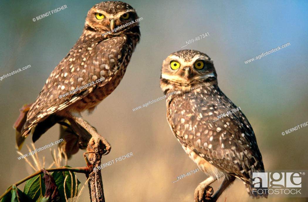Stock Photo: Burrowing owl (Athene cunilaria) couple sitting on a perch. Chapada dos Guimaraes. Mato Grosso. Brazil.