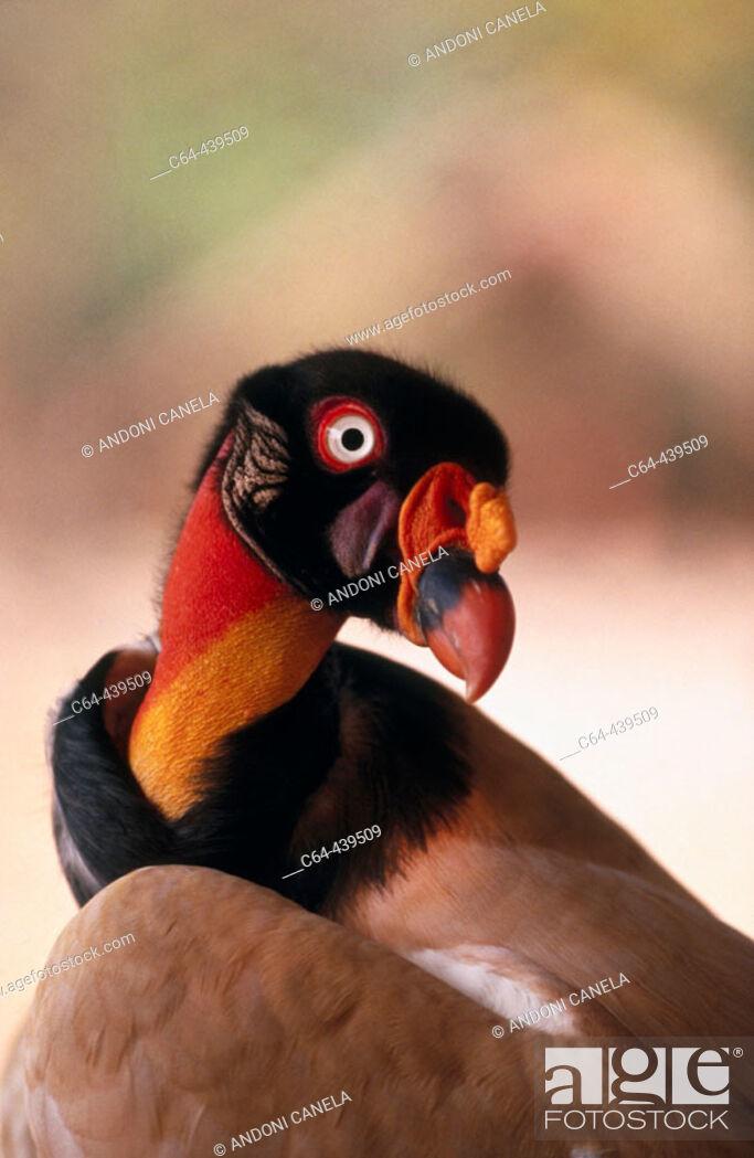 Stock Photo: Lesser yellow-headed vulture (Cathartes burrovianus). Moxos, Amazonia, Bolivia.