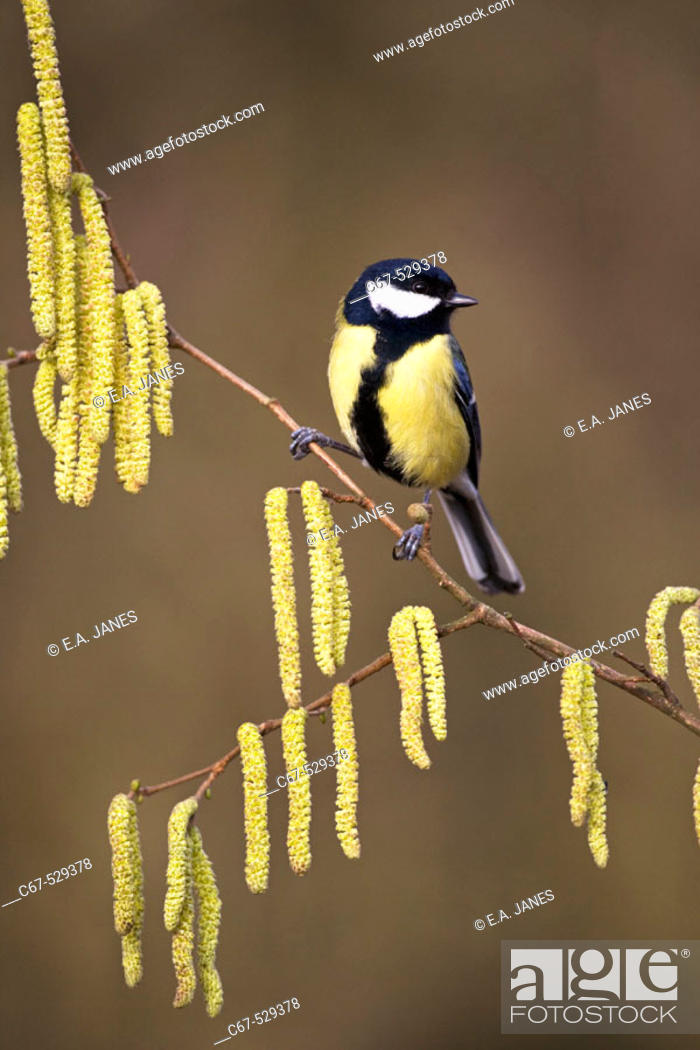 Stock Photo: Great Tit Parus major on Hazel Catkins.