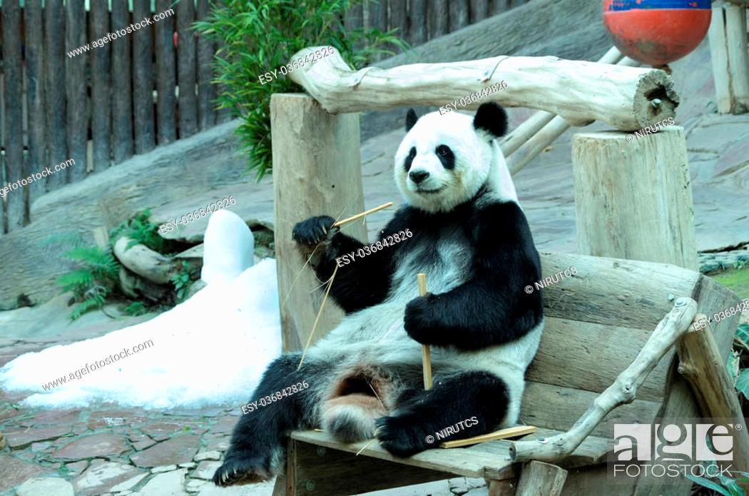 Stock Photo: giant panda bear eating bamboo for food. Chiang Mai Zoo in Thailand.