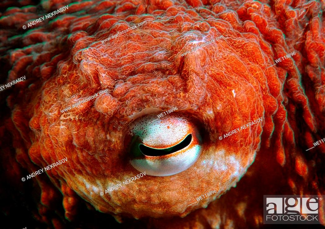 Stock Photo: giant Pacific octopus or North Pacific giant octopus, Enteroctopus dofleini Japan sea, Far East, Primorsky Krai, Russian Federation.