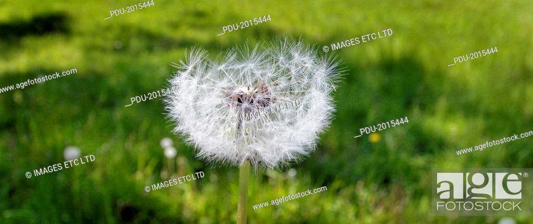 Stock Photo: Dandelion seed head in an English meadow.