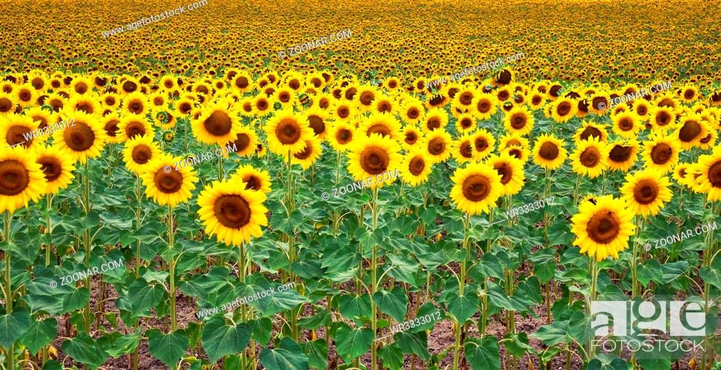 Stock Photo: The field of blossoming sunflowers (Helianthus). Alentejo. Portugal.