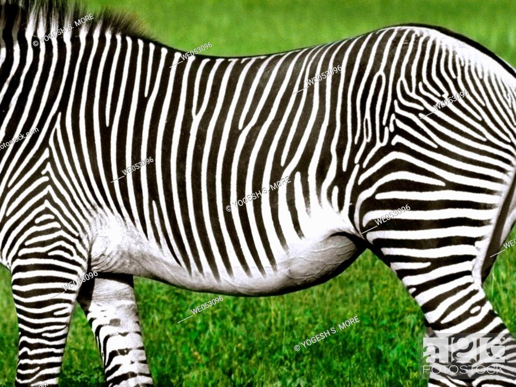 Stock Photo: Common Zebra.