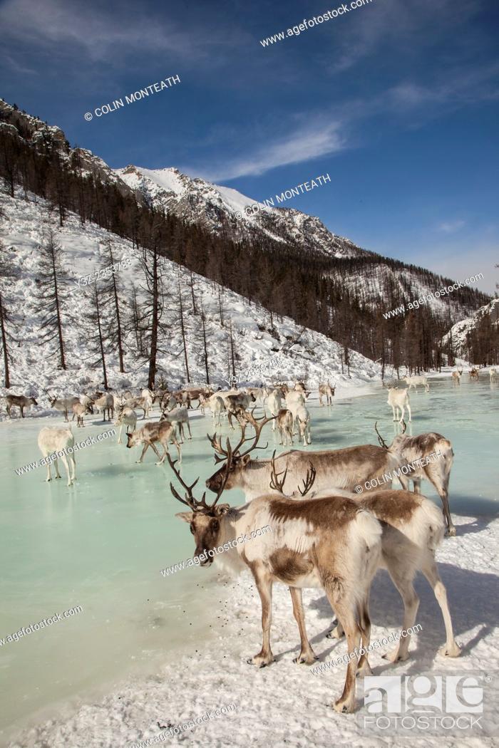 Imagen: Tsataan reindeer on frozen lake after spending winter in Hunkher mountains, northern Mongolia.