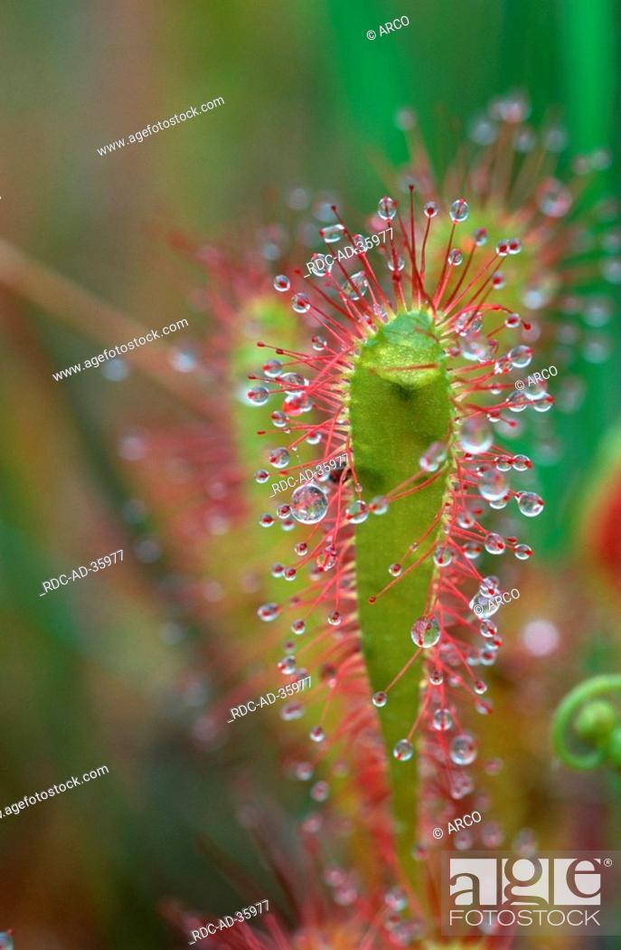 Stock Photo: Great Sundew Highlands Scotland Drosera anglica.
