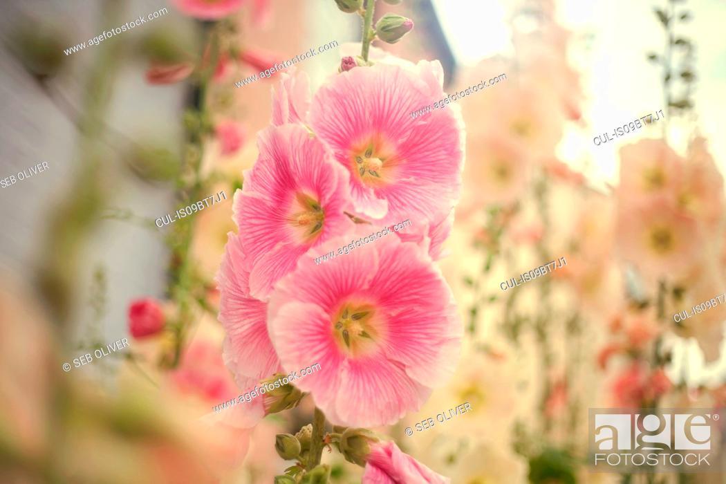 Stock Photo: Hollyhock blooms.